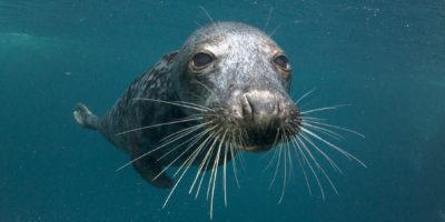 Grijze zeehond onder water; grey seal underwater